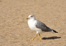 Free Seagull Walking On The Sand Royalty Free Stock Photos - 16066928