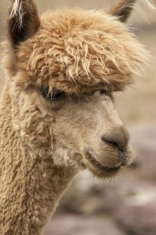 Free Alpaca Royalty Free Stock Photography - 16067037