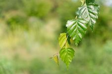 Free Leaves Of Birch In Deep Forest Royalty Free Stock Images - 16067249