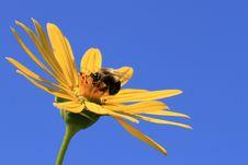 Free Yellow Bumble Bee (Bombus Fervidus) Royalty Free Stock Image - 16067516