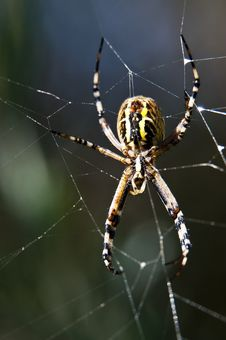Free Garden Spider Royalty Free Stock Photos - 16067588
