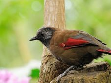 Free Red-winged Laughingthrush Royalty Free Stock Photography - 16067777