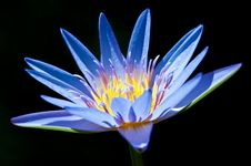Free Water Lily Royalty Free Stock Photos - 16068858