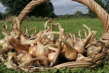 Free Freshly Dug Out Onions On Basket Detail Royalty Free Stock Photo - 16069405