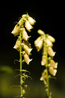 Free Yellow Foxglove (Digitalis Grandiflora) Stock Image - 16069861