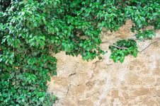 Free Young Branches Of Ivy Stock Images - 16069874