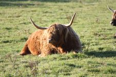 Free Highland Cow Royalty Free Stock Image - 16069946