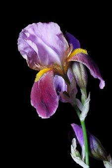 Free Iris Stock Image - 16069981