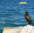 Free Great Cormorant (Phalacrocorax Carbo) Stock Photography - 16073682