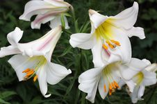 Free Lily Royalty Free Stock Images - 16070319