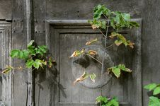 Free Withering Plant Against Shabby Door Background Royalty Free Stock Photo - 16070555