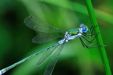 Free Blue-eyed Dragonfly Royalty Free Stock Photo - 16071045