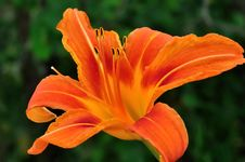 Free Orange  Day Lily Stock Photography - 16071222