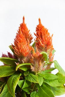 Free Orange Celosia Plant Stock Image - 16071351