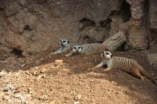 Free Meerkats Royalty Free Stock Images - 16071459