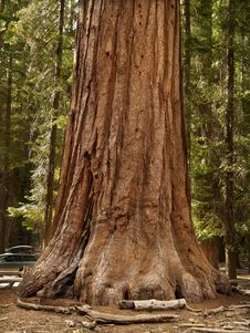 Free Mariposa Grove Redwoods Royalty Free Stock Photography - 16071727