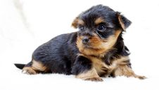 Free Puppy Yorkshire Terrier On The White Background Royalty Free Stock Image - 16072556