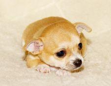 Free Chihuahua Puppy Stock Photo - 16072650