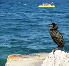 Great Cormorant (Phalacrocorax Carbo) Stock Photography