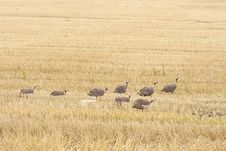 Free The Helmeted Guineafowl Stock Photos - 16073833