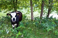 Free Black And White Cow Stock Photos - 16074453