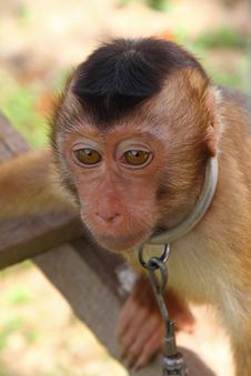 Chained Monkey Stock Photography