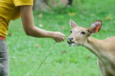 Free Deer Feeding Stock Images - 16075374