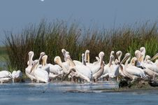 Free White Pelicans Colony Royalty Free Stock Image - 16075966