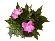 Free Room Flower. Stock Photos - 16076103
