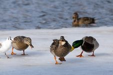 Mallard Ducks Eating Royalty Free Stock Photography
