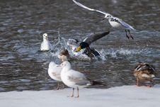 Free Mallard Ducks Fighting Stock Photo - 16076160