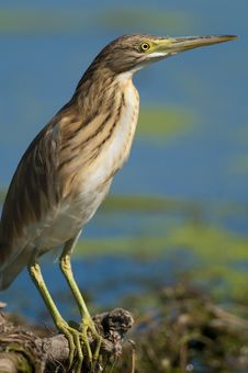 Free Silky Or Squacco Heron Royalty Free Stock Images - 16076189