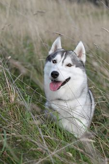 Free Siberian Husky In The Field Royalty Free Stock Photos - 16078228