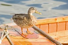 Free Captain Duck On Deck  Royalty Free Stock Image - 16079206