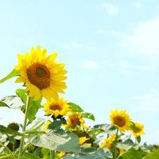 Free Beautiful Sunflowers Stock Images - 16079584