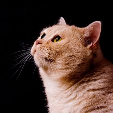 Free Pensive Cat Royalty Free Stock Images - 16080329