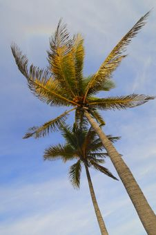 Free Coconut Palm Trees Royalty Free Stock Photo - 16080615
