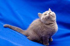 Free British Shorthair Blue Kitten Stock Photos - 16081103