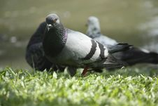 Free Pigeon Stock Images - 16081434