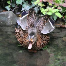 Angry Duck Stock Photography