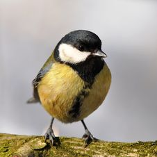 Free Great Tit Royalty Free Stock Photography - 16081647