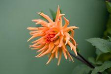 Free Orange Dahlia Stock Photography - 16082292