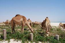 Free Camels On The Beach Royalty Free Stock Images - 16082449
