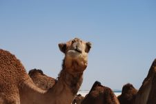 Free Funny Looking Camel Stock Photography - 16082482