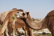 Camel Eating Stock Photo