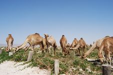 Free Camels On The Beach Stock Photography - 16082502
