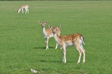 Free Deers Stock Photos - 16082693