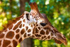 Free Giraffe Stock Photo - 16082700