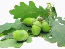Free Oak Tree Leaves And Nuts Stock Photo - 16083010