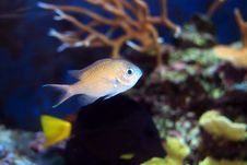 Free Chromis Fish Stock Photography - 16083412